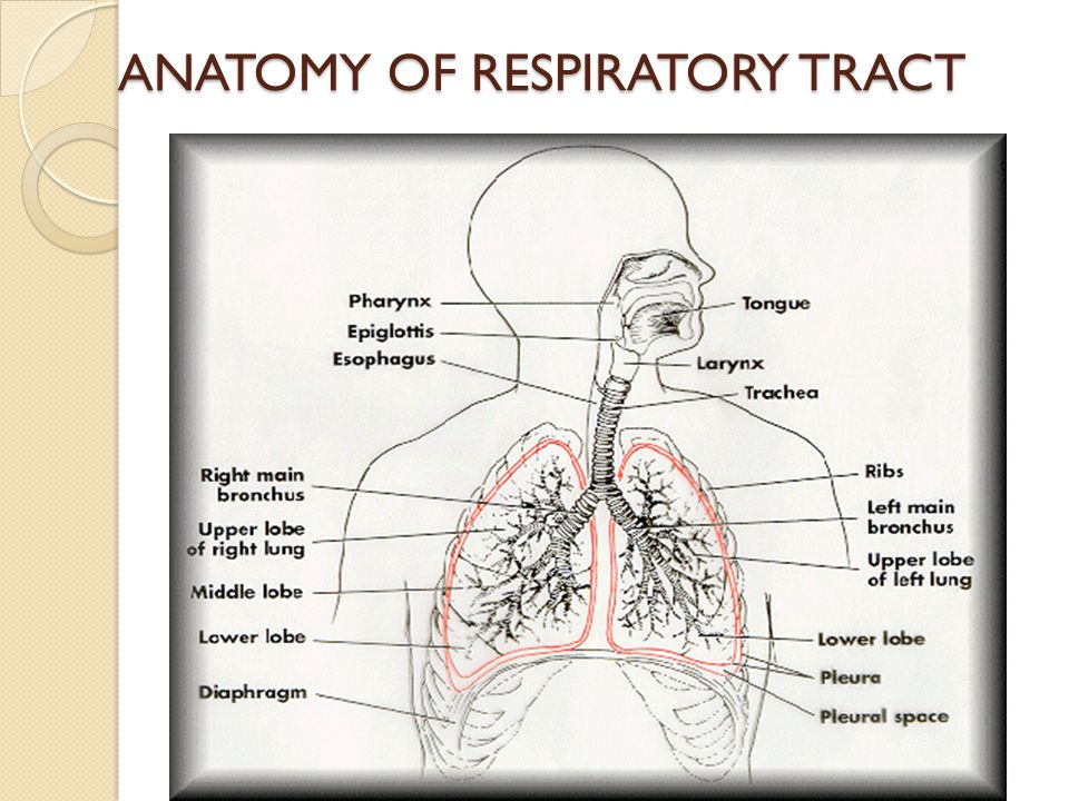ANATOMY OF RESPIRATORY TRACT