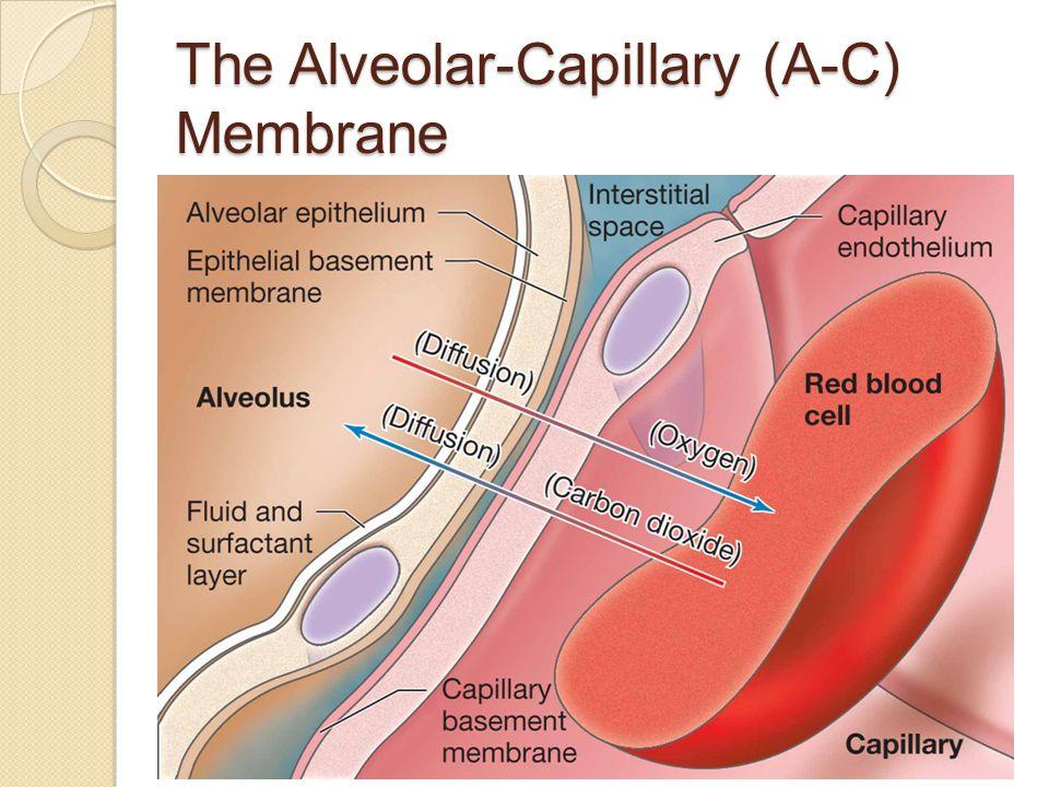 The Alveolar-Capillary (A-C) Membrane