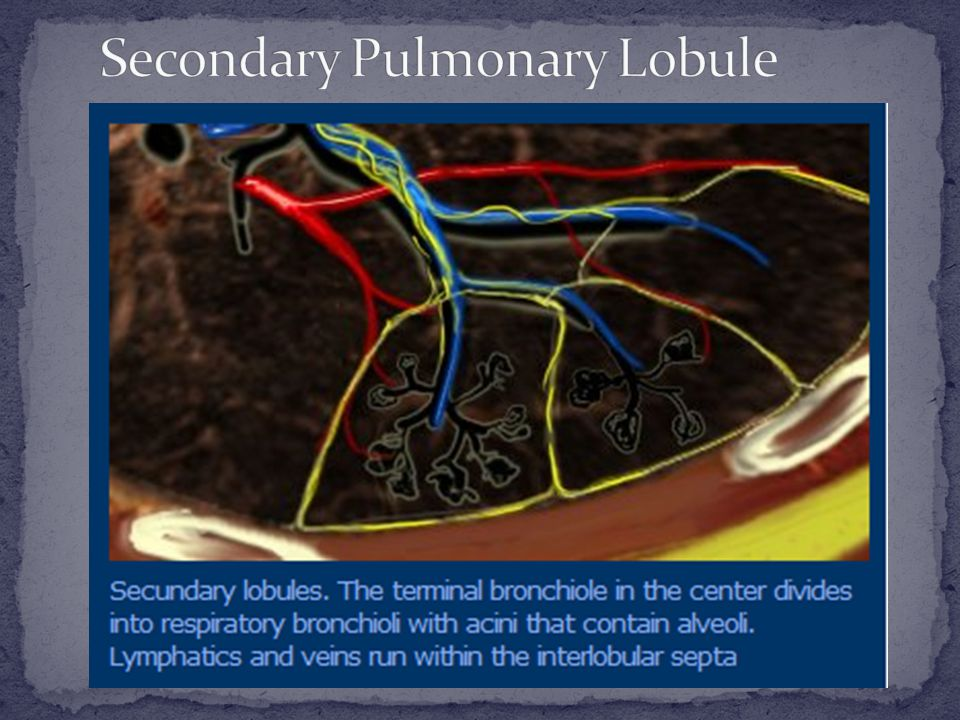 Secondary Pulmonary Lobule