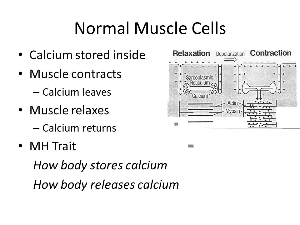 Normal Muscle Cells Calcium stored inside Muscle contracts
