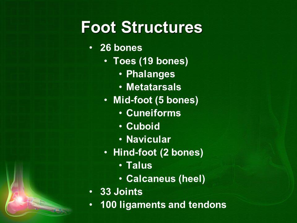 Foot Structures 26 bones Toes (19 bones) Phalanges Metatarsals