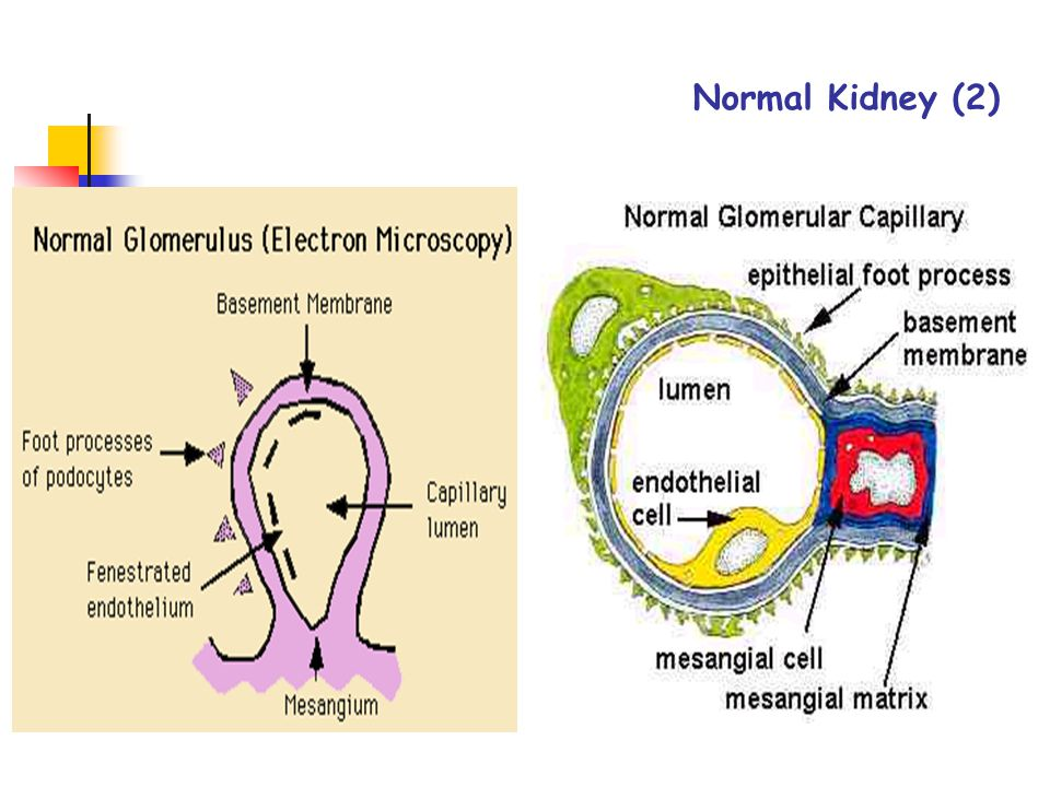 Normal Kidney (2)