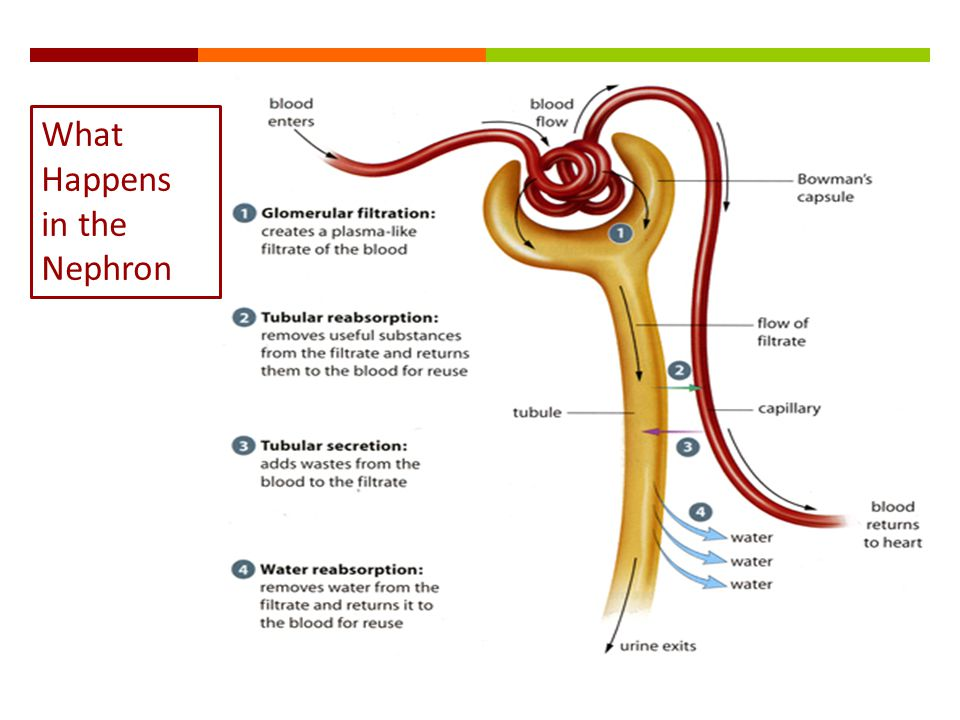 What Happens in the Nephron