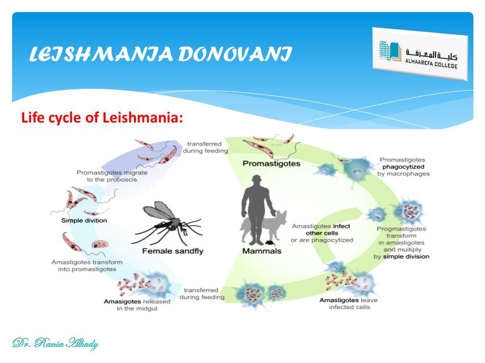 LEISHMANIA DONOVANI Life cycle of Leishmania: Dr. Rania Alhady
