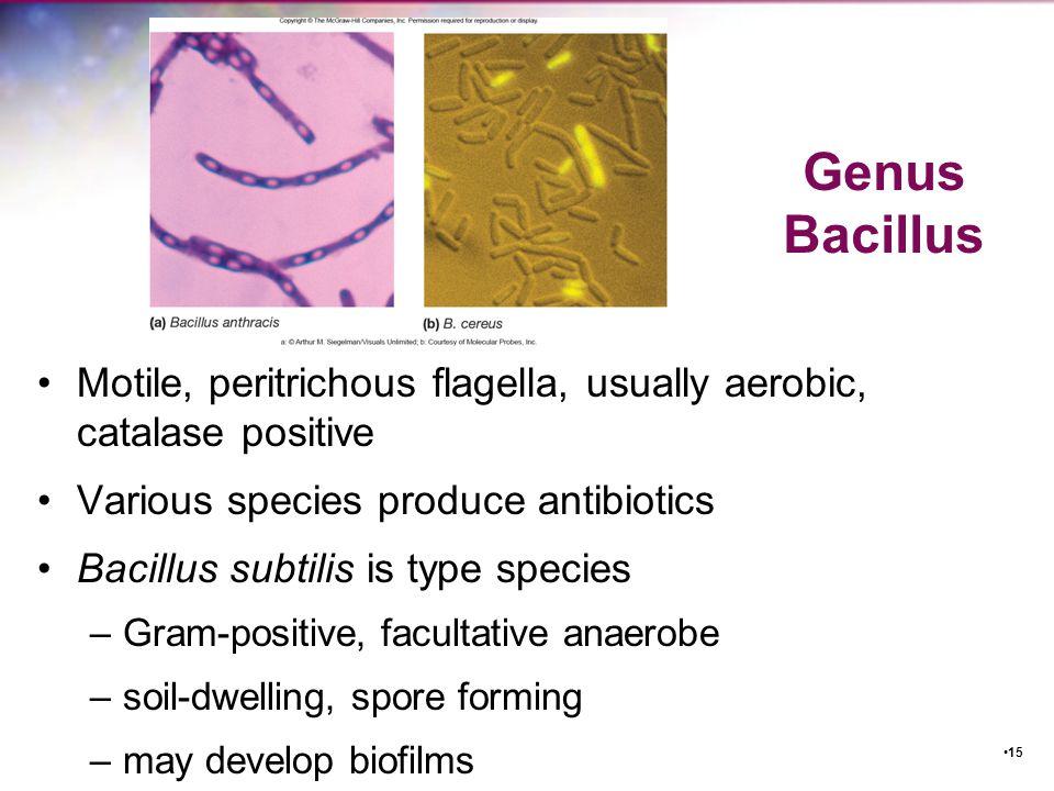 Genus Bacillus Motile, peritrichous flagella, usually aerobic, catalase positive. Various species produce antibiotics.