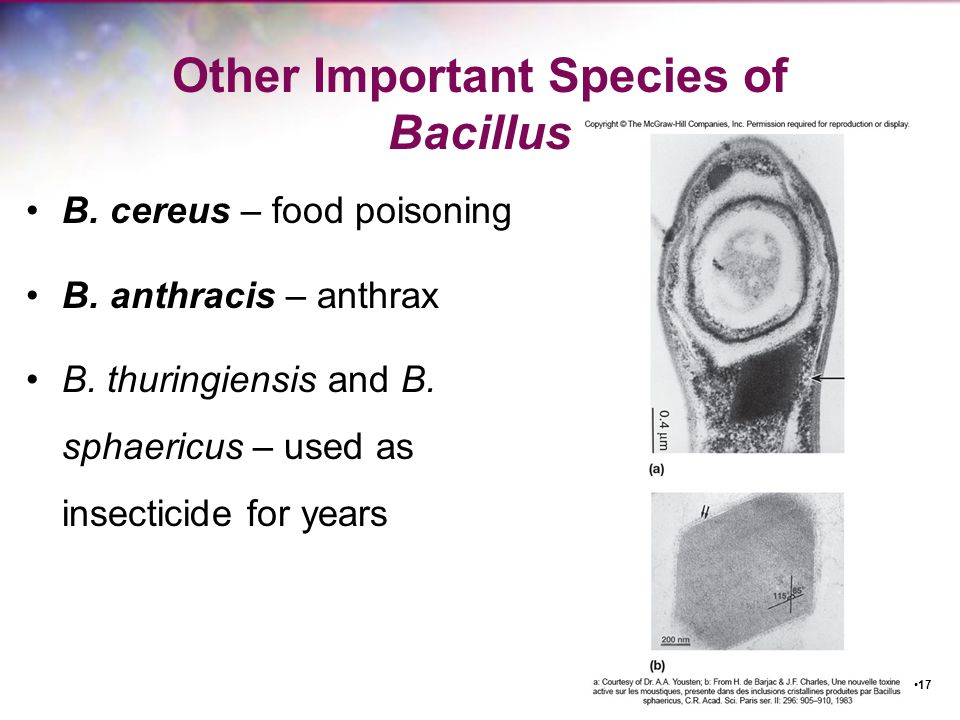 Other Important Species of Bacillus