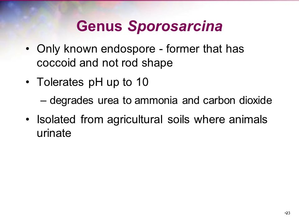 Genus Sporosarcina Only known endospore - former that has coccoid and not rod shape. Tolerates pH up to 10.