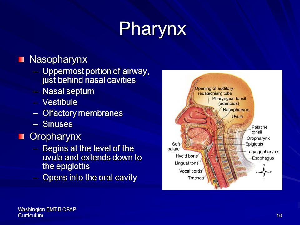 Pharynx Nasopharynx Oropharynx