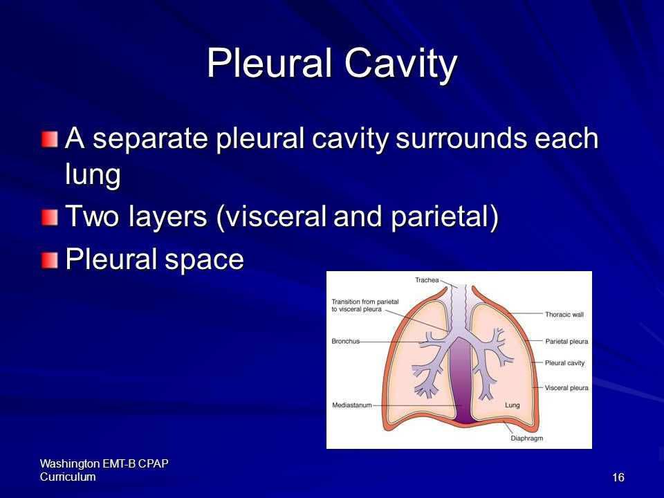 Pleural Cavity A separate pleural cavity surrounds each lung
