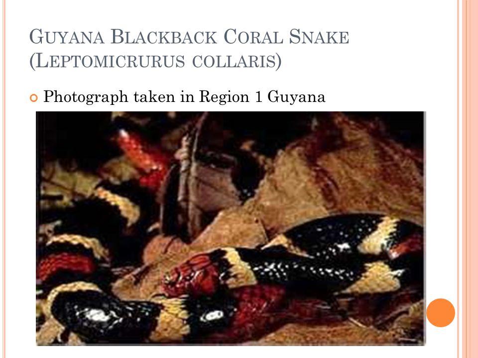 Guyana Blackback Coral Snake (Leptomicrurus collaris)
