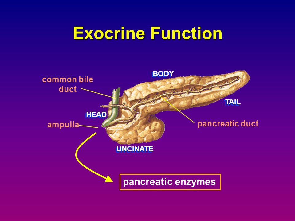Exocrine Function pancreatic enzymes common bile duct pancreatic duct
