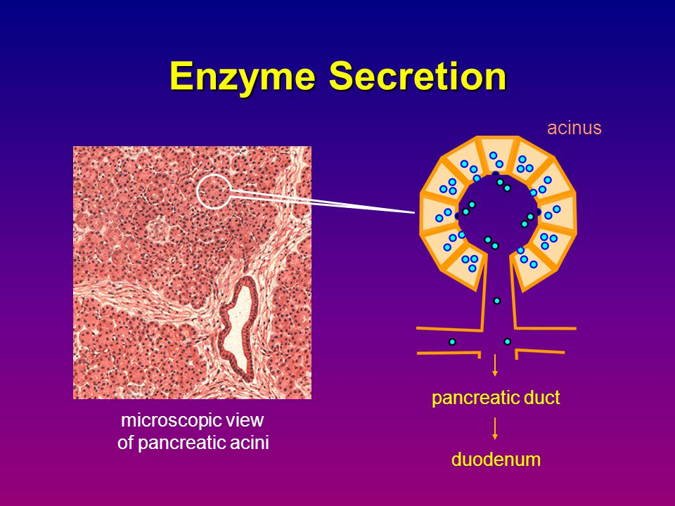 Enzyme Secretion acinus pancreatic duct microscopic view