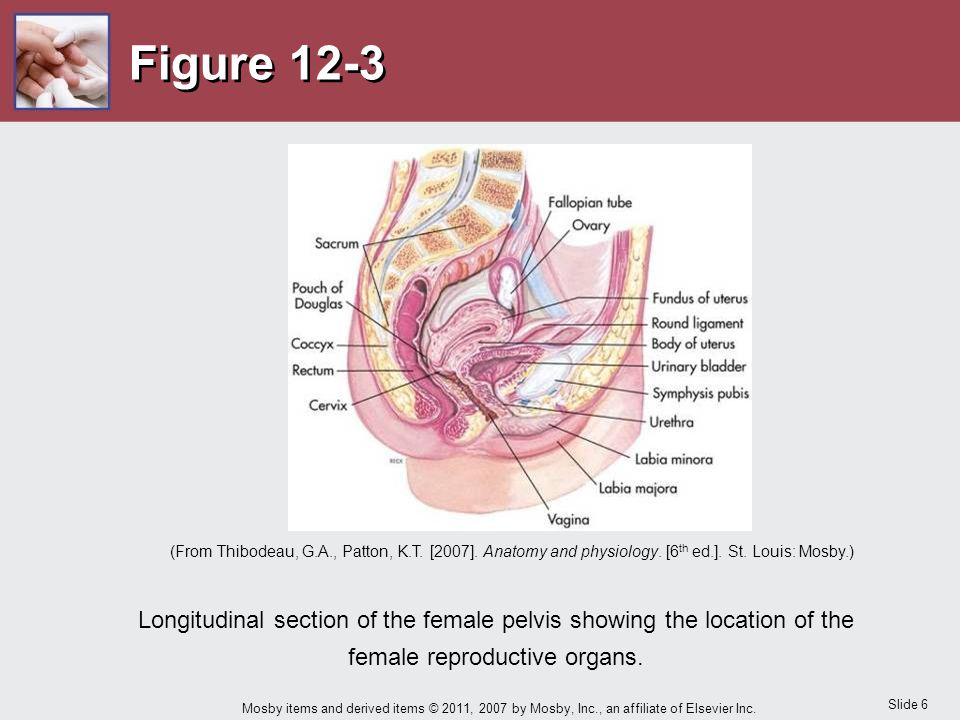 Figure 12-3 What roles are played by the organs of the female reproductive system NOTE: Point to the structures as they are discussed.
