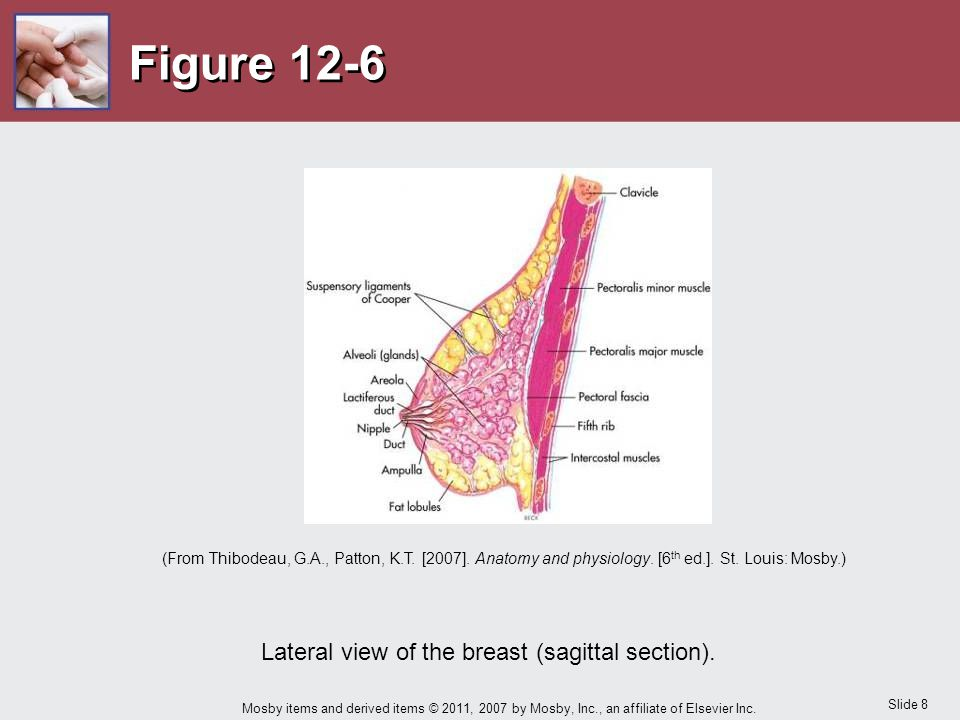 Lateral view of the breast (sagittal section).