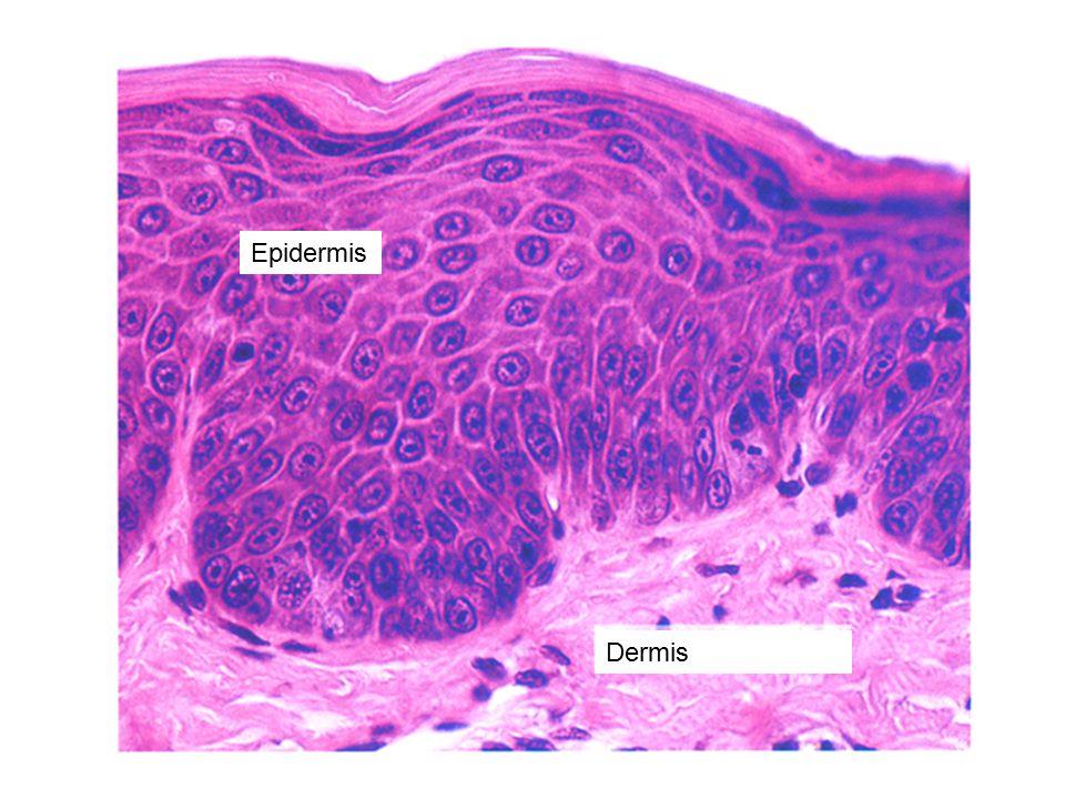 Epidermis Dermis