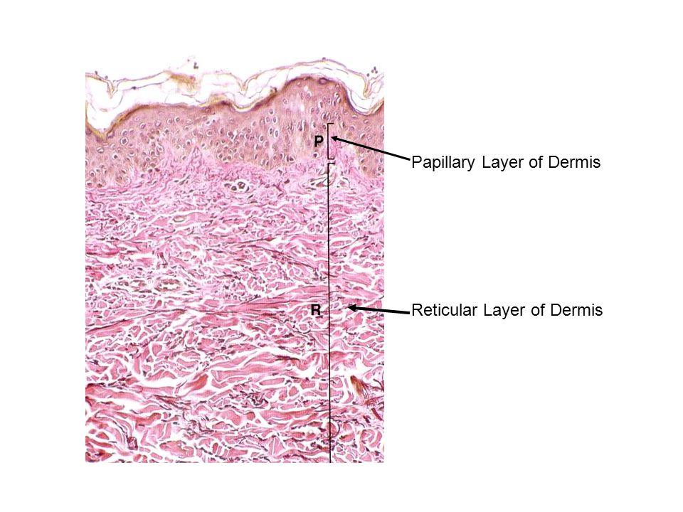 Papillary Layer of Dermis