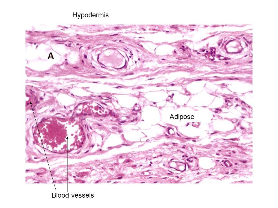 Hypodermis Adipose Blood vessels