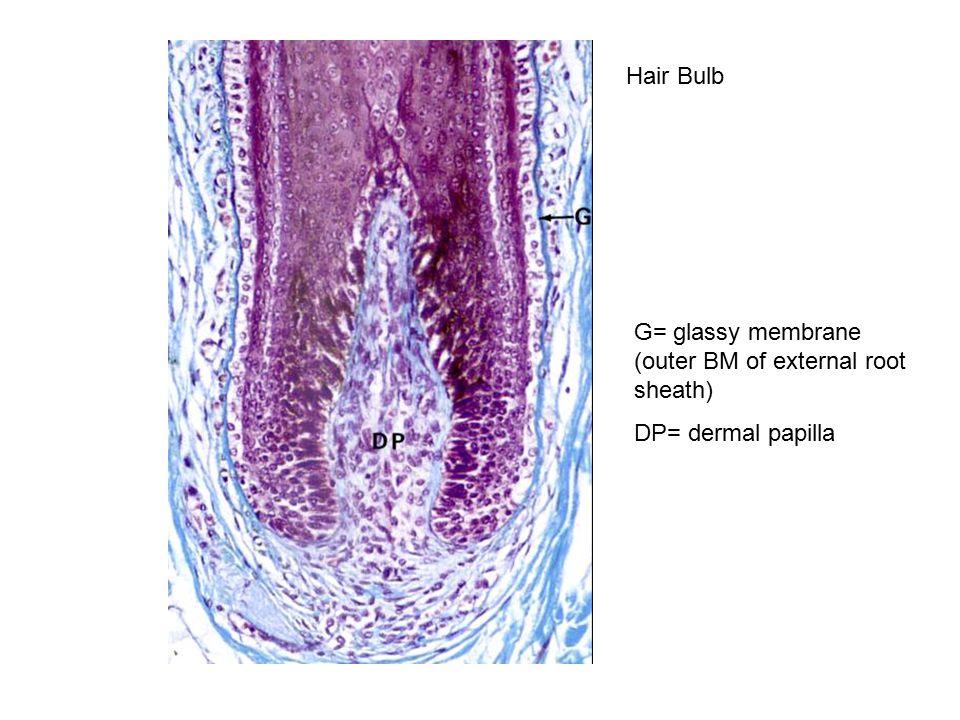 Hair Bulb G= glassy membrane (outer BM of external root sheath) DP= dermal papilla