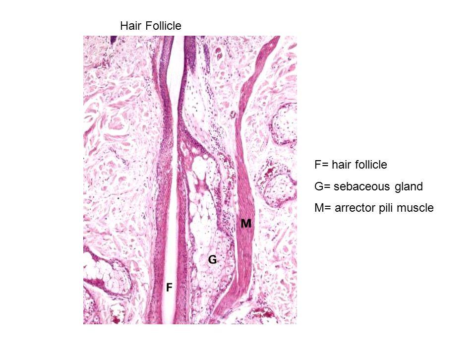 Hair Follicle F= hair follicle G= sebaceous gland M= arrector pili muscle