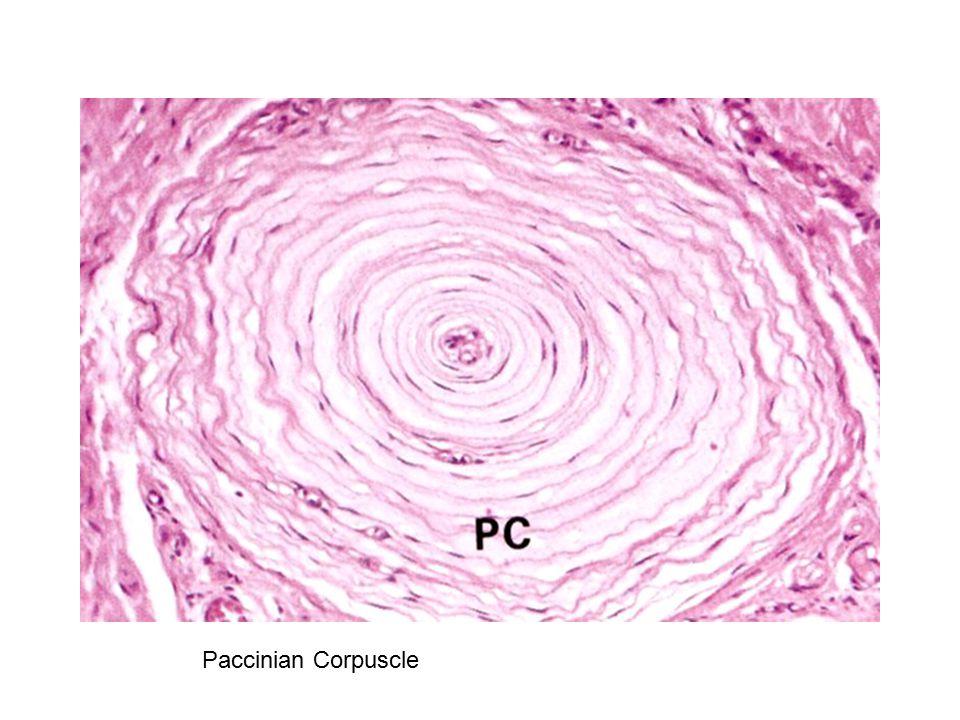 Paccinian Corpuscle