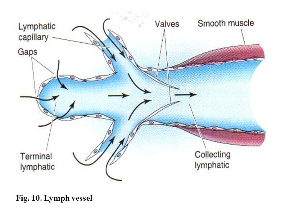 Fig. 10. Lymph vessel