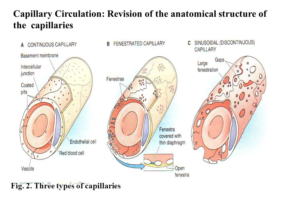 Capillary Circulation: Revision of the anatomical structure of the capillaries
