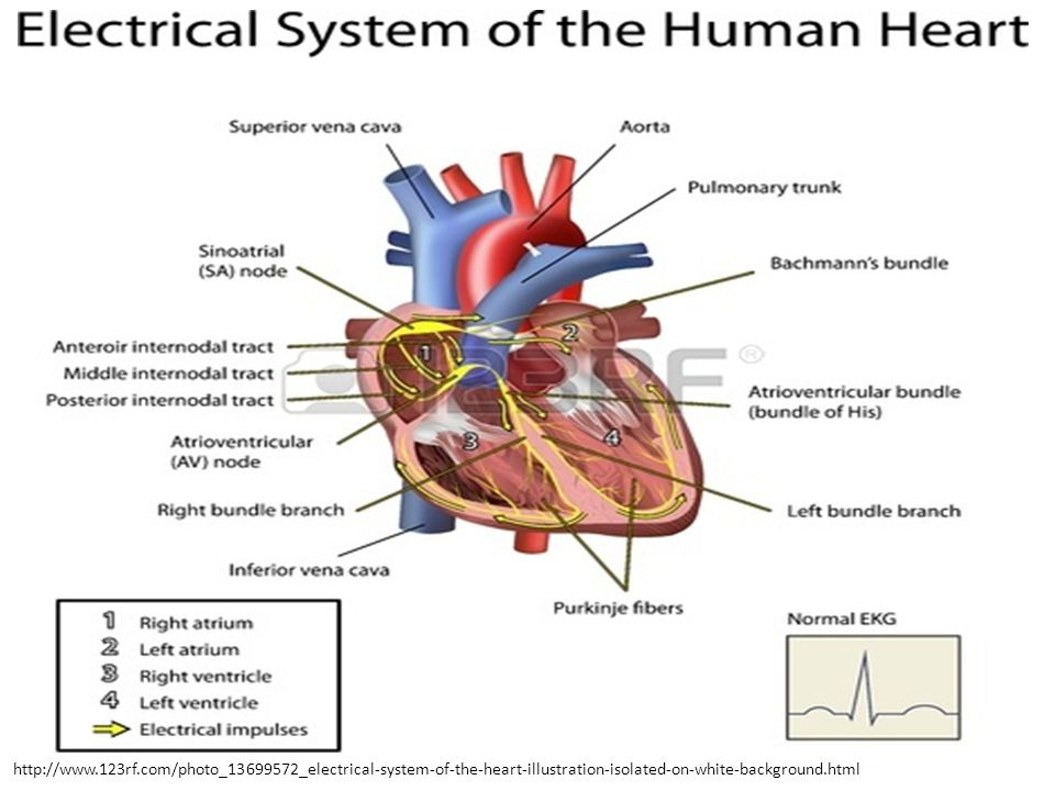 http://www.123rf.com/photo_13699572_electrical-system-of-the-heart-illustration-isolated-on-white-background.html