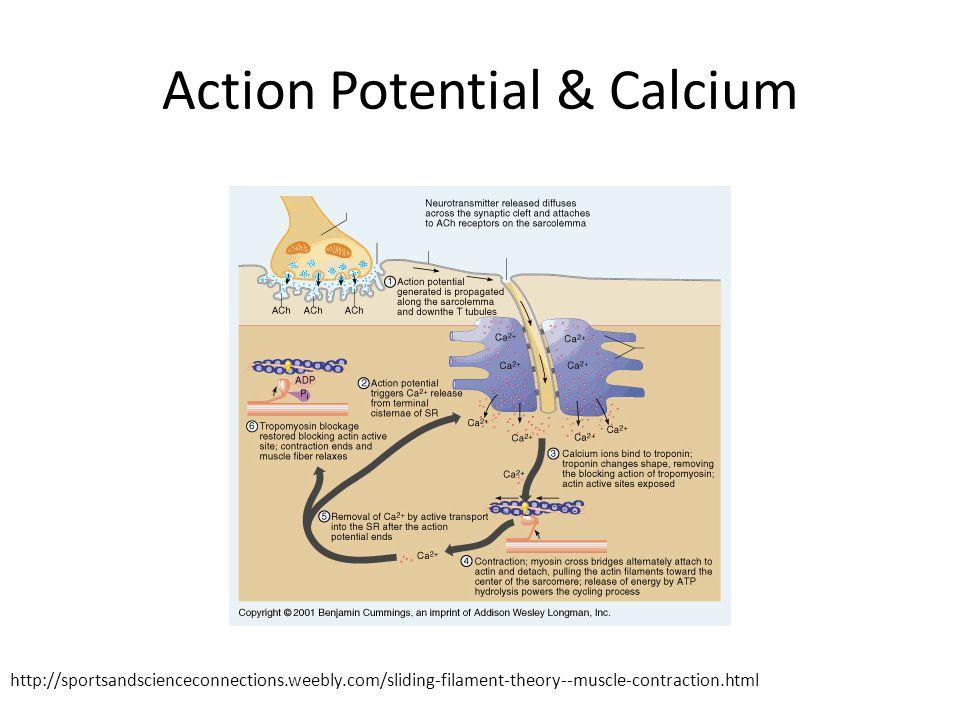 Action Potential & Calcium