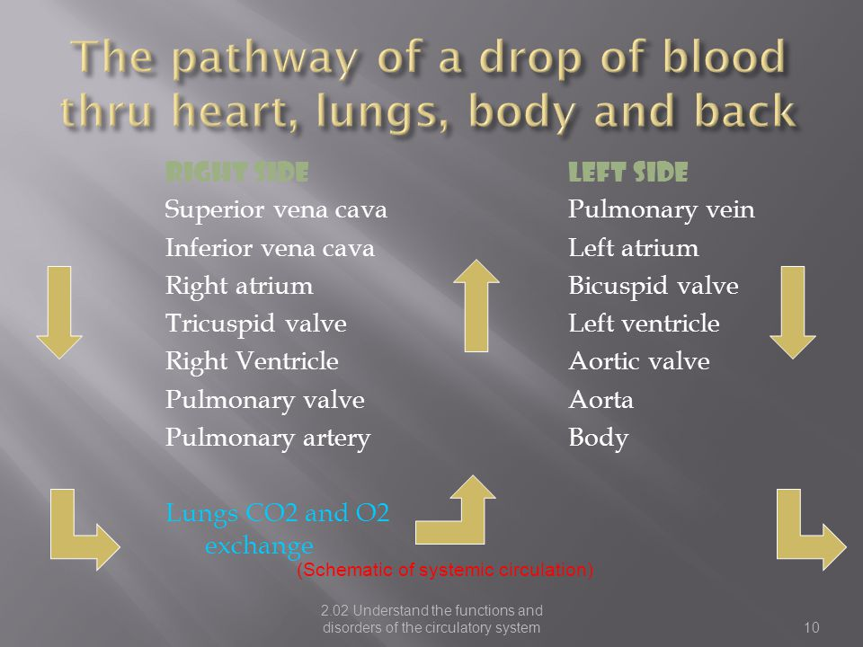 The pathway of a drop of blood thru heart, lungs, body and back