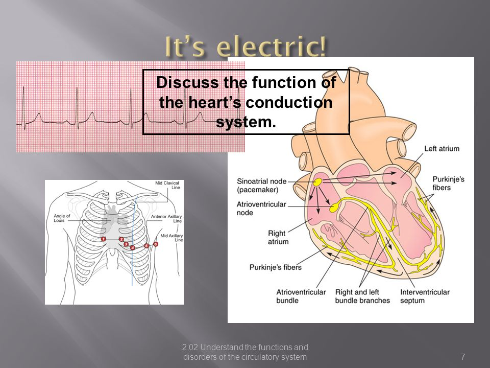 Discuss the function of the heart's conduction system.