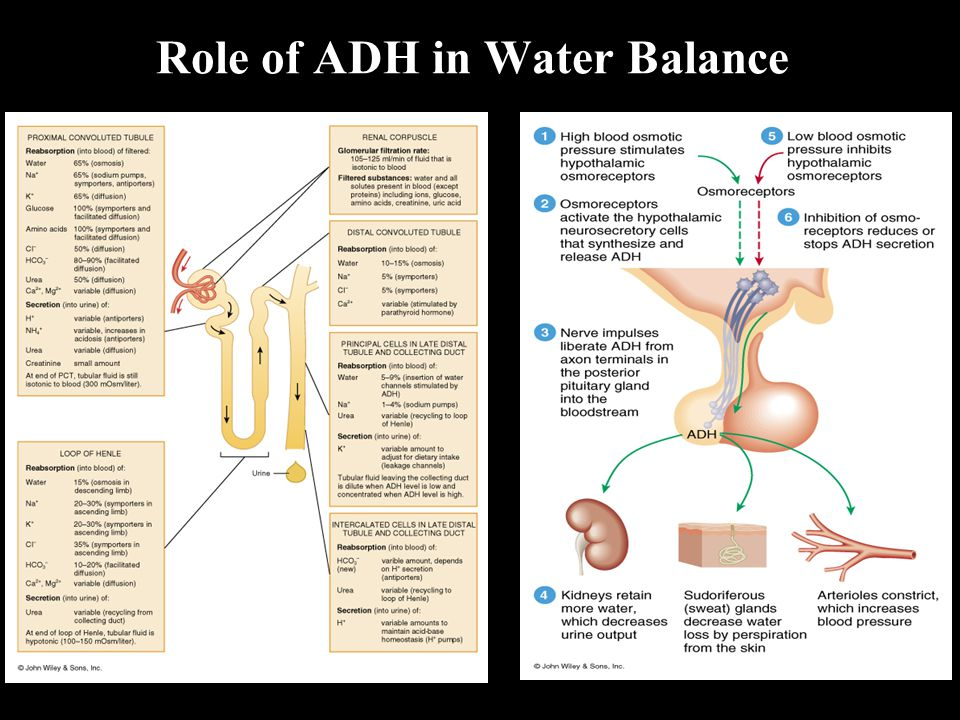 Role of ADH in Water Balance