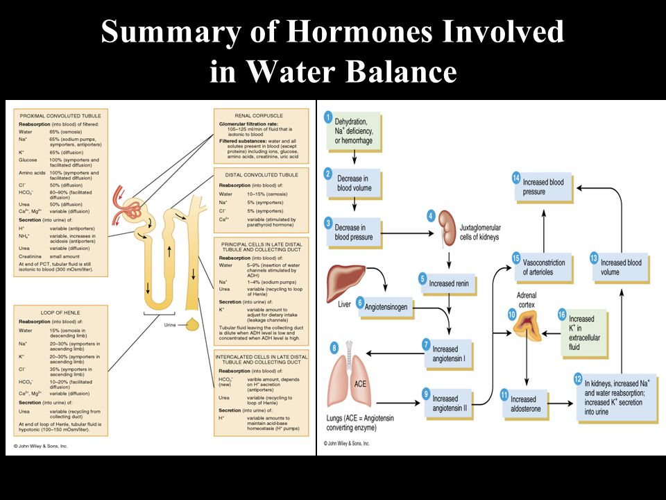 Summary of Hormones Involved in Water Balance
