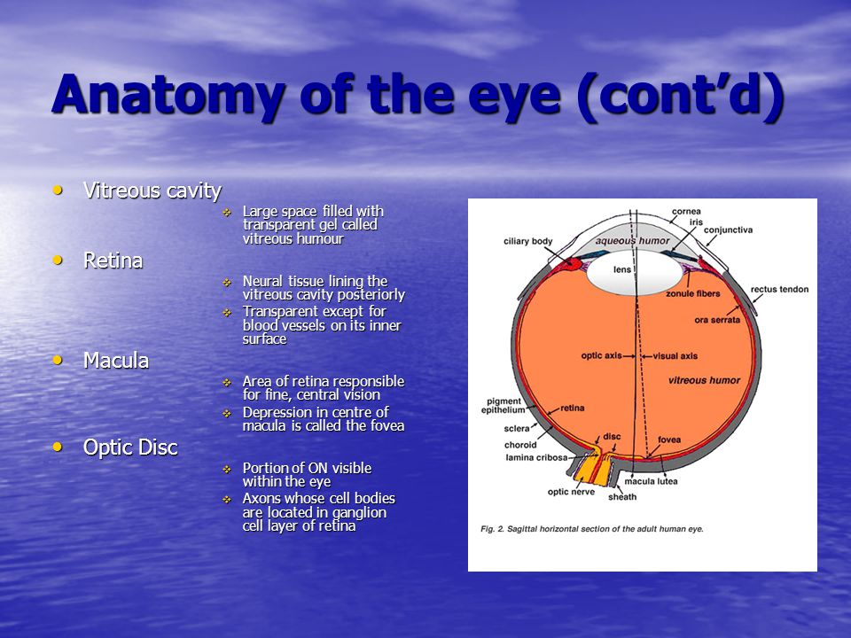 Anatomy of the eye (cont'd)