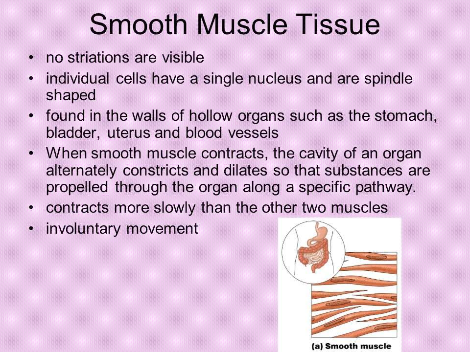 Smooth Muscle Tissue no striations are visible