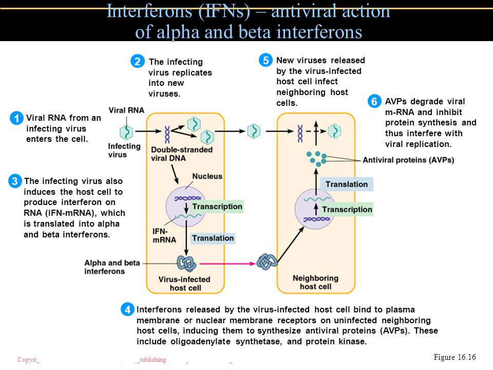 Interferons (IFNs) – antiviral action of alpha and beta interferons