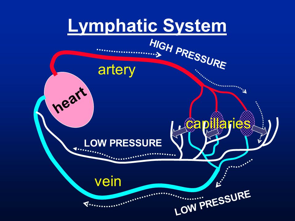 Lymphatic System artery heart capillaries vein HIGH PRESSURE
