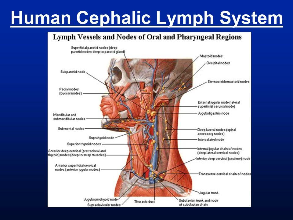 Human Cephalic Lymph System