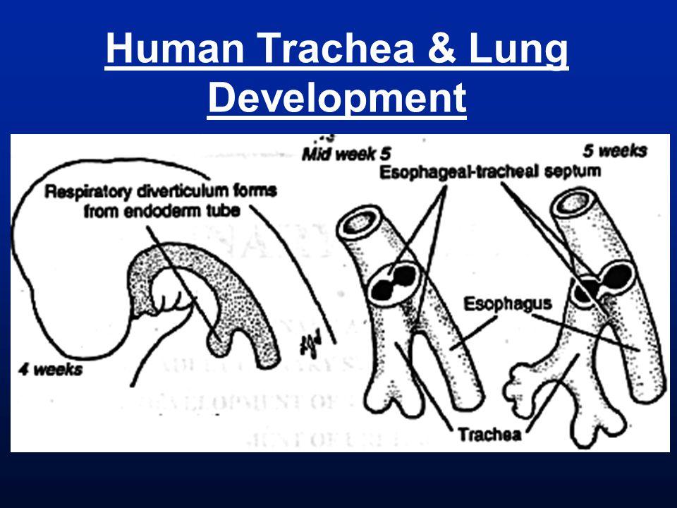 Human Trachea & Lung Development