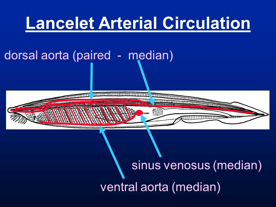 Lancelet Arterial Circulation