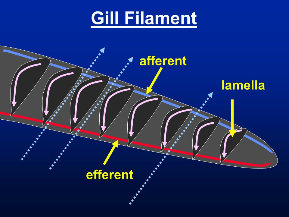Gill Filament afferent lamella efferent