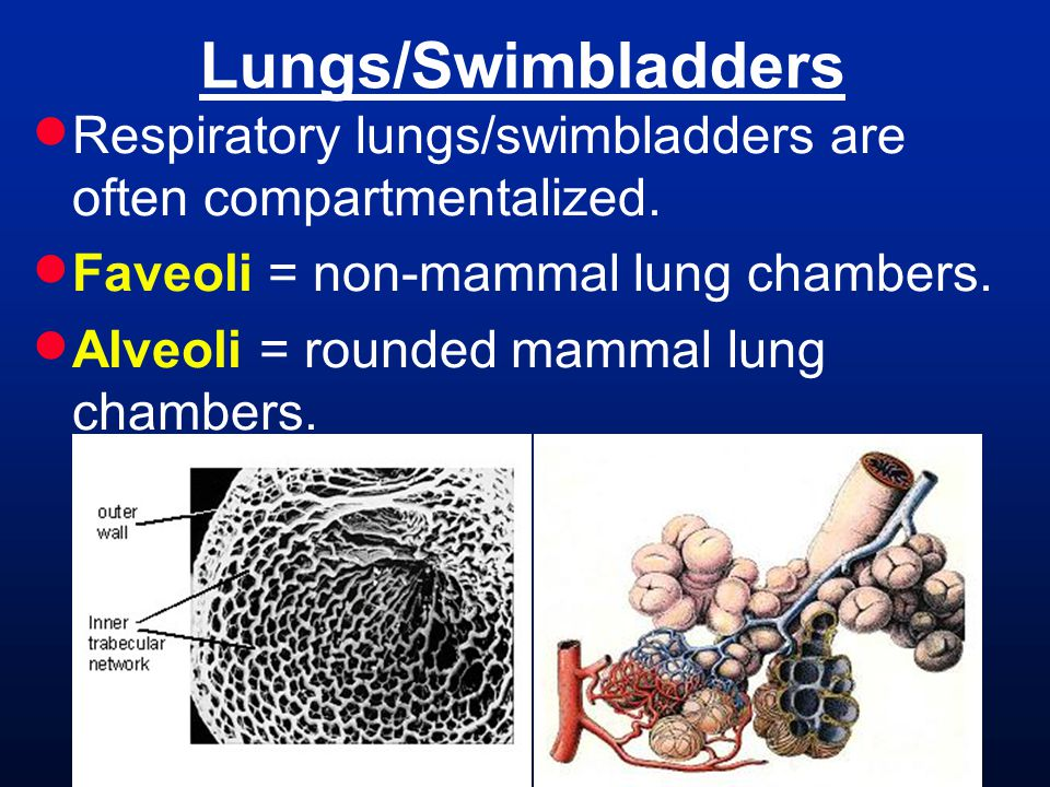 Lungs/Swimbladders Respiratory lungs/swimbladders are often compartmentalized. Faveoli = non-mammal lung chambers.
