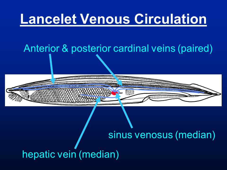 Lancelet Venous Circulation