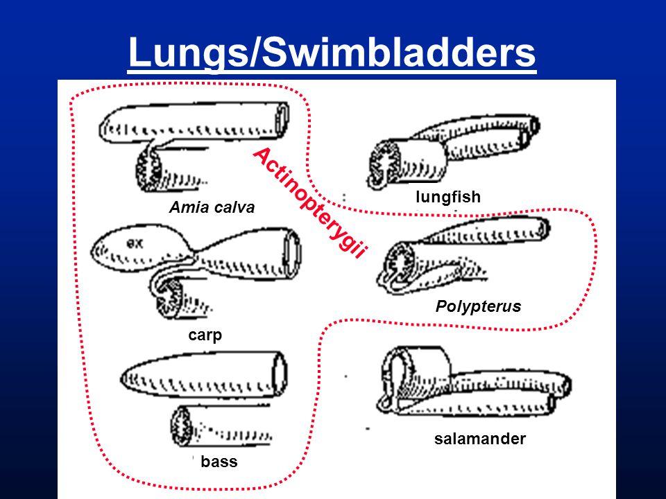 Lungs/Swimbladders Actinopterygii lungfish Amia calva Polypterus carp