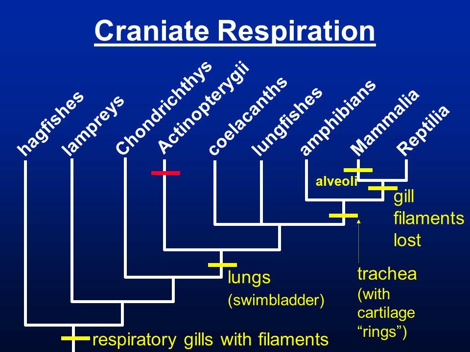 Craniate Respiration Chondrichthys Actinopterygii coelacanths