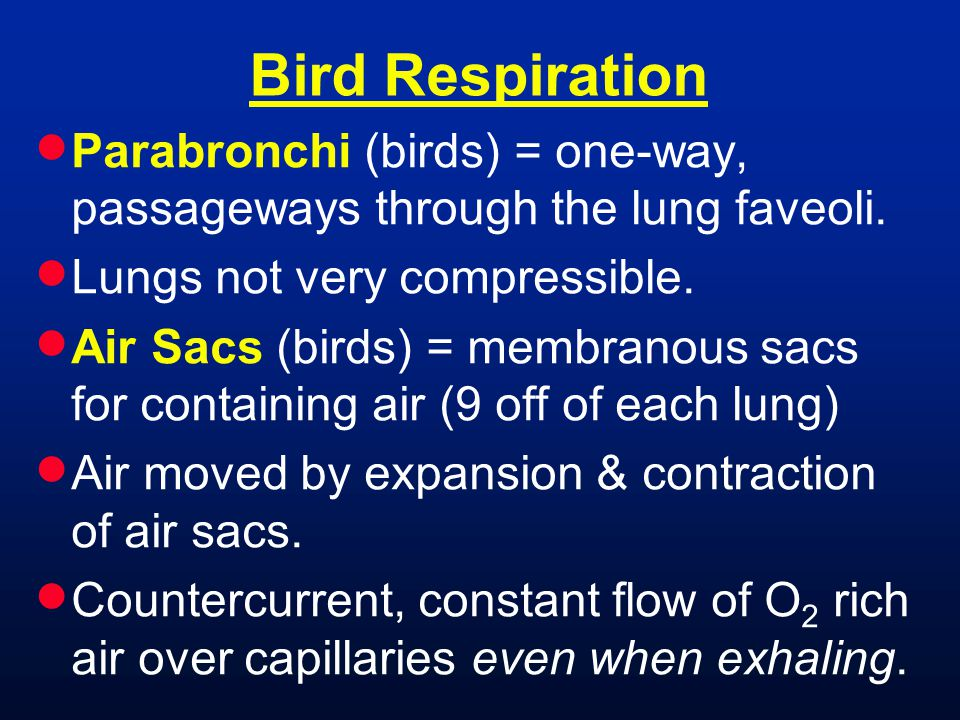Bird Respiration Parabronchi (birds) = one-way, passageways through the lung faveoli. Lungs not very compressible.