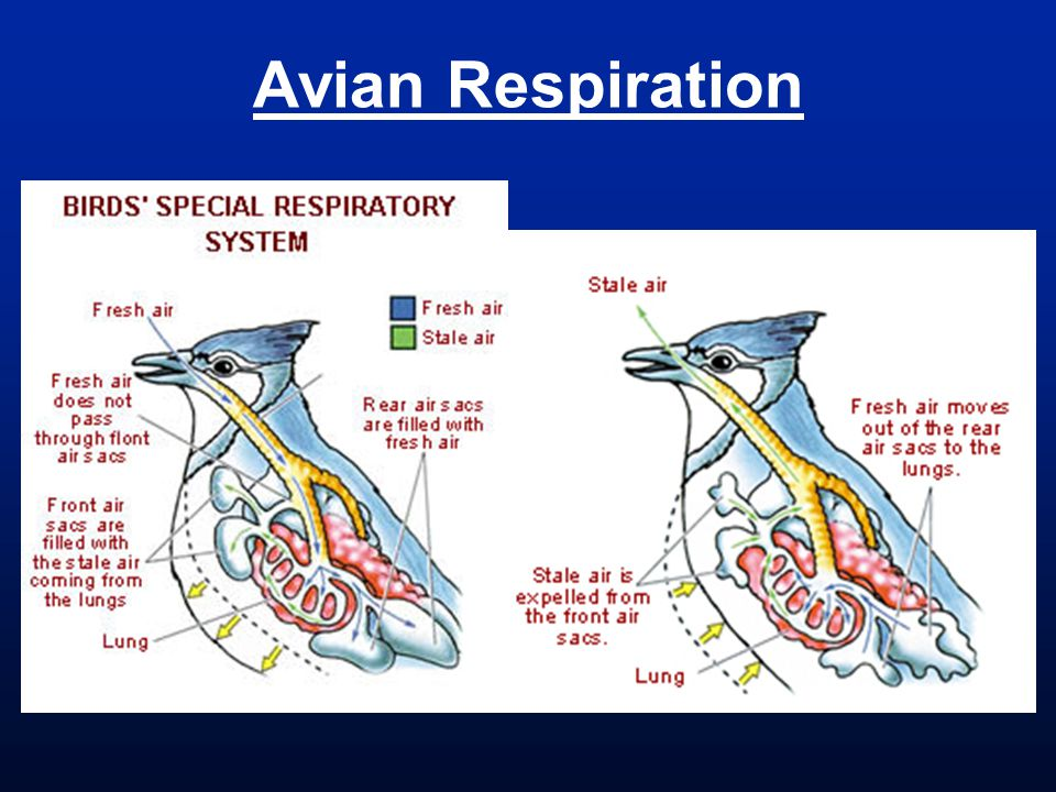 Avian Respiration