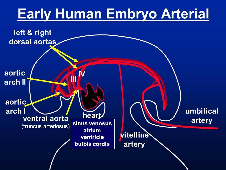 Early Human Embryo Arterial