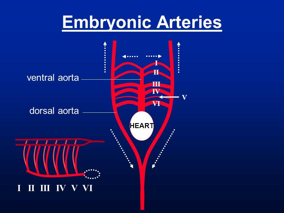 Embryonic Arteries ventral aorta dorsal aorta I II III IV V VI I II