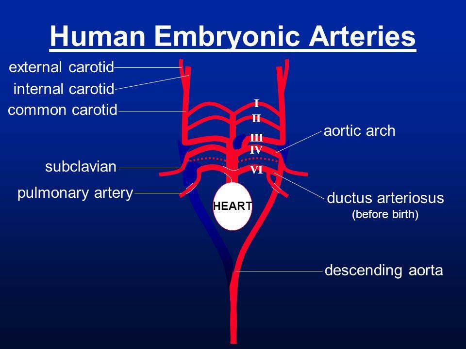 Human Embryonic Arteries