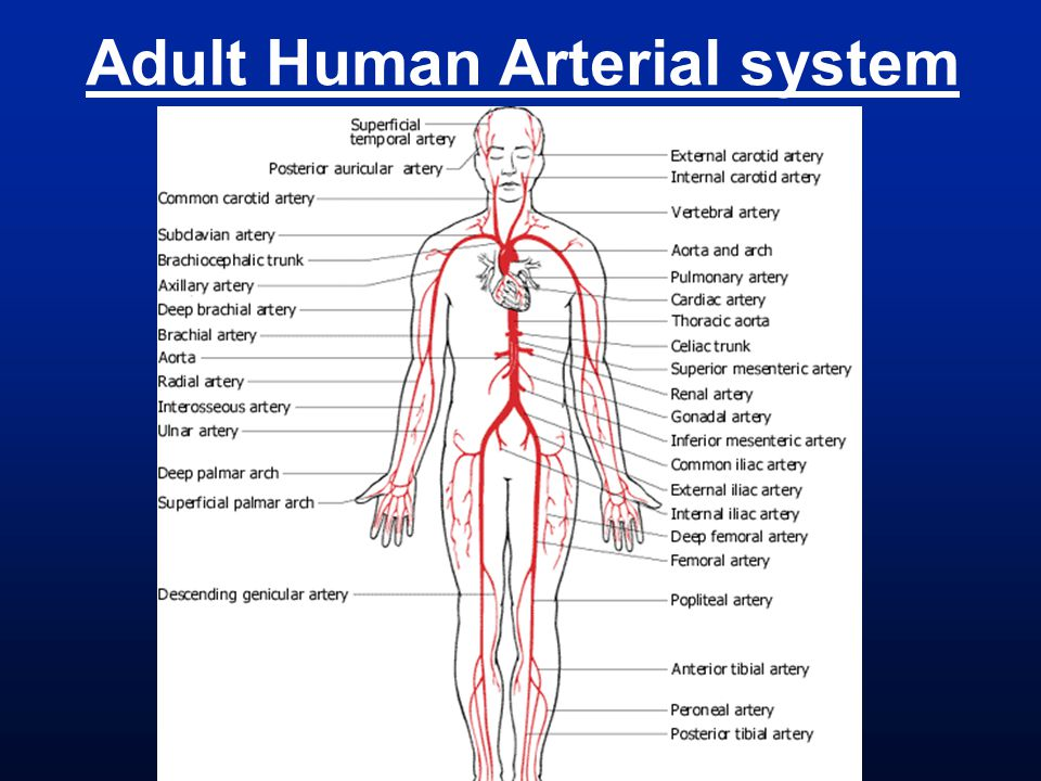 Adult Human Arterial system